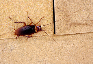 Hvordan bli kvitt kakerlakker?