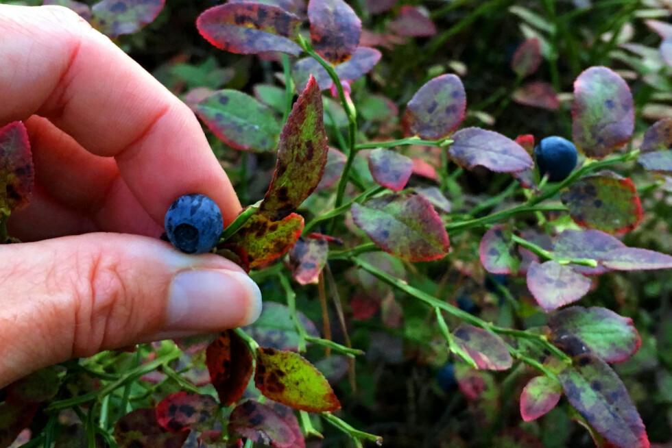 IKKE BARE BLÅBÆR: Nei, revens dvergbendelmark angriper ikke kun blåbæra - den kan finnes på alle slags bær og sopp. Men den er ennå ikke registrert kommet til Norge. Og nei, du kan ikke få kreft av å spise parasittinfiserte bær - men du kan bli smittet av en annen kronisk sykdom som krever livslang behandling. Foto: KRISTIN SØRDAL