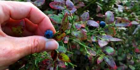 - Nei, du får ikke kreft av å spise blåbær