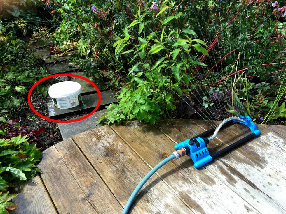 BRUKER ALLTID EN PLASTBOKS: Hageentusiast Anne Havåg Holter-Hovind bak hagebloggen Moseplassen.no sier til Dinside at hun alltid setter ut en plastboks når hun vanner. Dette er for å være sikker på at hun gir plantene «en skikkelig rotbløyte». Se alle vanningstipsene i videoen nedenfor. Foto: KRISTIN SØRDAL