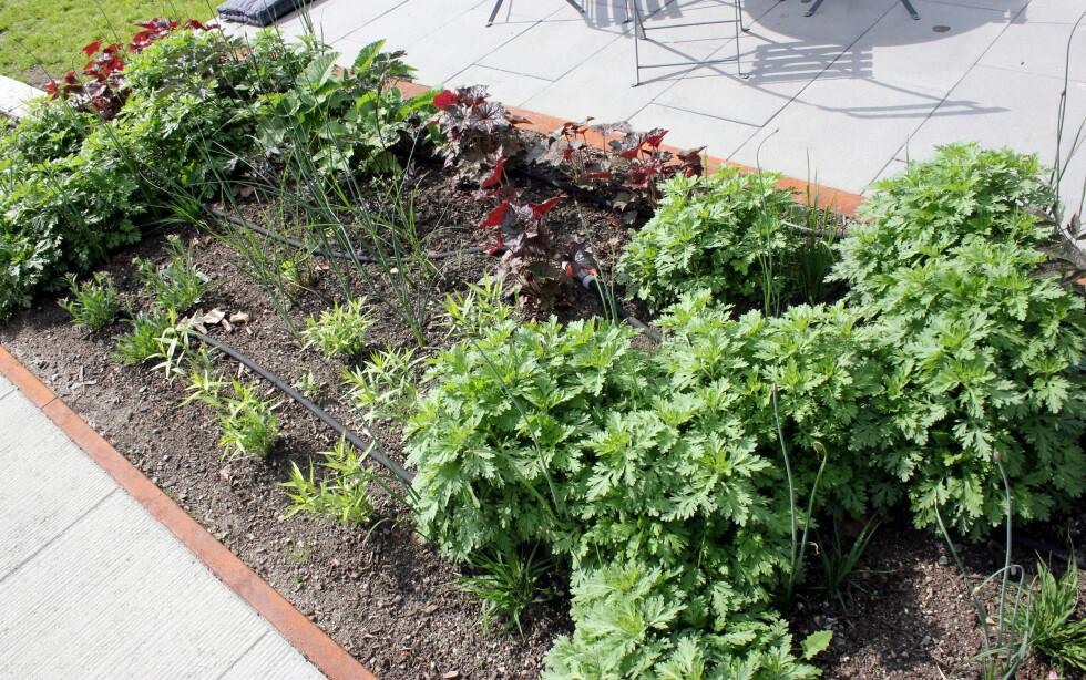 TENK GRUPPER OG REPETISJONER: Plant flere planter sammen, og flere arter sammen - så har du flere bein å stå på dersom en plante skulle dø. Foto: KRISTIN SØRDAL