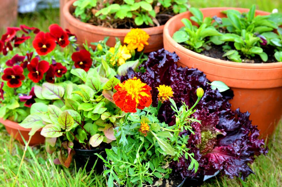SPISELIGE BLOMSTER: Pynt opp i blomsterkassene, krukkene eller pallekarmene med spiselige blomster. En fryd for både øyne og gane! Foto: PLANTMANIA
