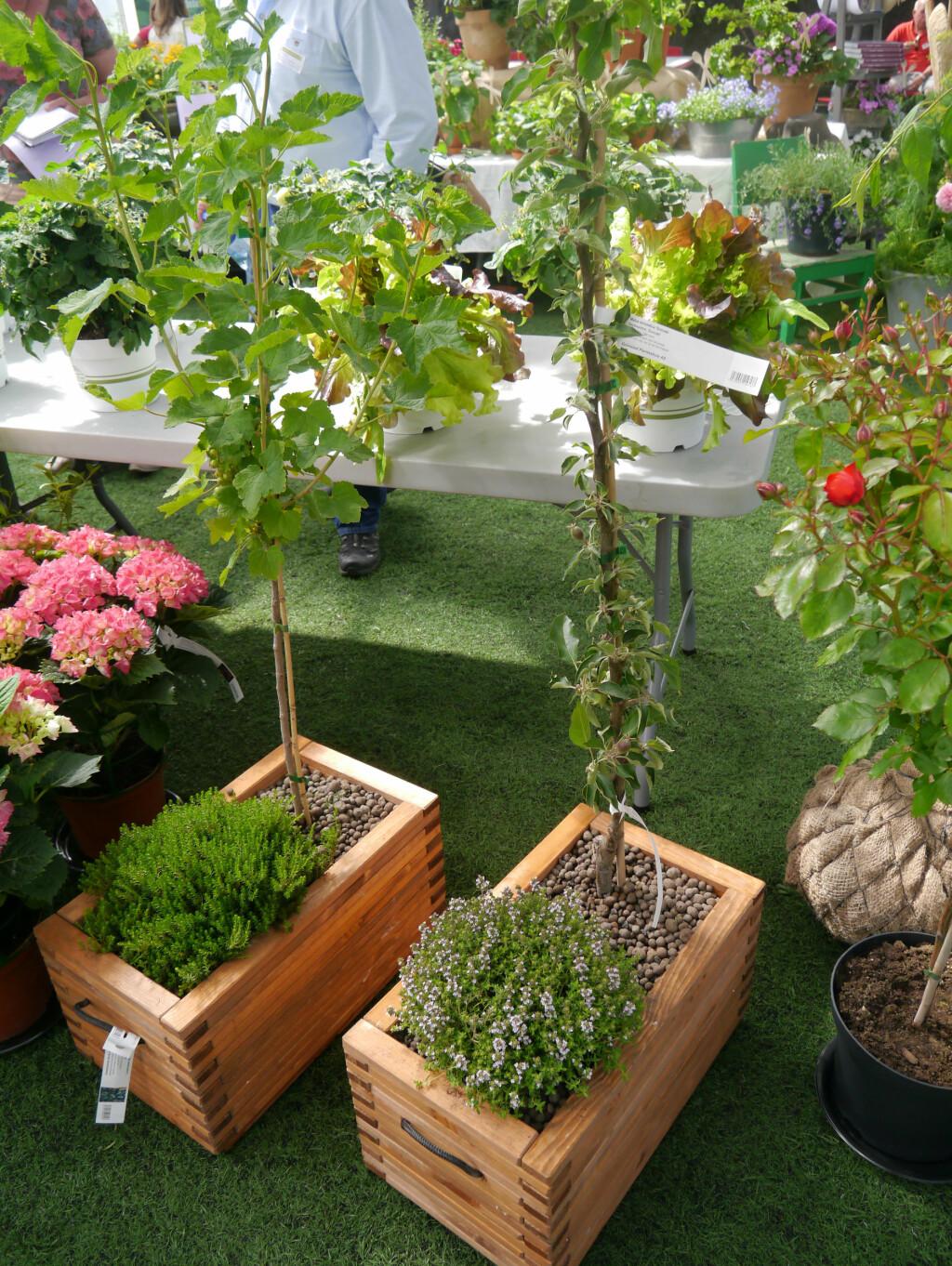 PLANT I KASSER: Det er ingenting i veien for å plante frukttær og bærbusker i kasser på terrassen. Det finnes også spesielle balkongtrær utviklet for å tåle livet i en balkongkasse bedre. Foto: OPPLYSNINGKONTORET FOR BLOMSTER OG PLANTER