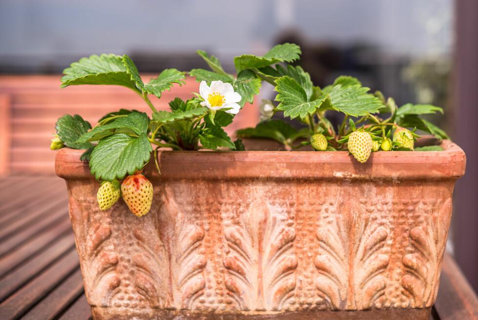 NOEN VIL HA MINDRE NÆRING ENN ANDRE: Samplanting i krukker er smart om du har begrenset plass, men da må du plante sammen arter som trenger samme slags næring og vekstforhold. Jordbærplantrene vil for eksempel ha minimalt med næring, for å få best avling. Foto: HBPICTURES/SHUTTERSTOCK/NTB SCANPIX
