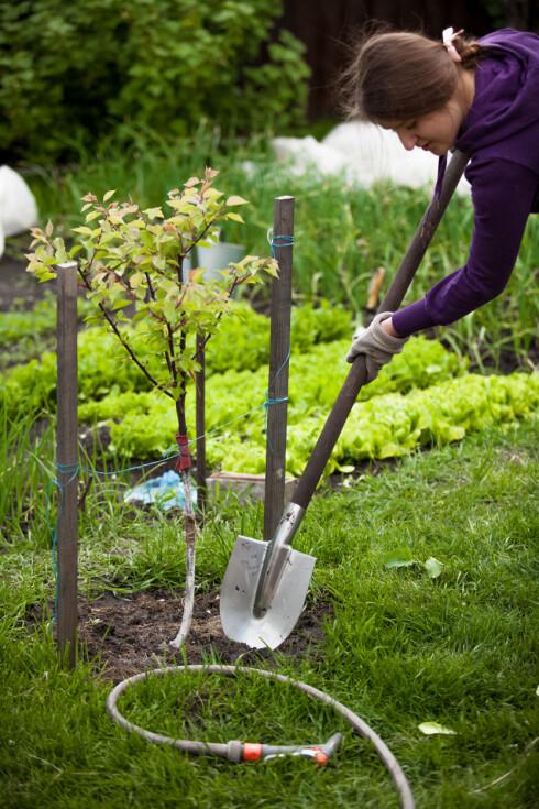 <strong><b>BRUK STOKK:</strong></b> Skal du plante et epletre, bør du støtte det opp med en stokk, sånn at det vokser rett. Foto: KRYZHOV / SHUTTERSTOCK / SCANPIX