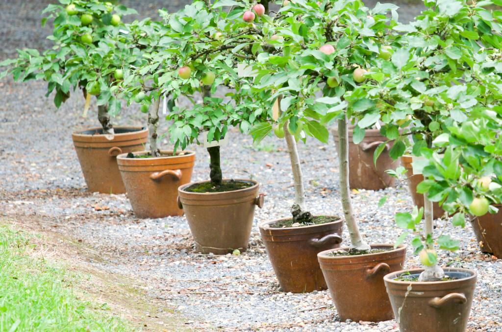 <b>SLIK PLANTER DU BÆRTRÆR OG FRUKTBUSKER:</b> Du kan plante både bærtrær og fruktbusker i krukker og kasser - eller selvsagt grave dem ned. Foto: DANIELW/SHUTTERSTOCK/NTB SCANPIX
