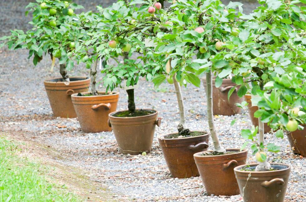 SLIK PLANTER DU BÆRTRÆR OG FRUKTBUSKER: Du kan plante både bærtrær og fruktbusker i krukker og kasser - eller selvsagt grave dem ned. Foto: DANIELW/SHUTTERSTOCK/NTB SCANPIX