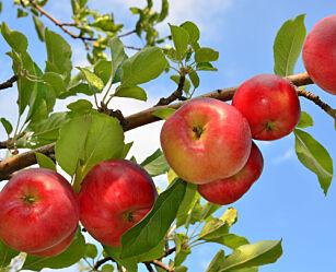 image: Hvordan plante frukttrær og bærbusker