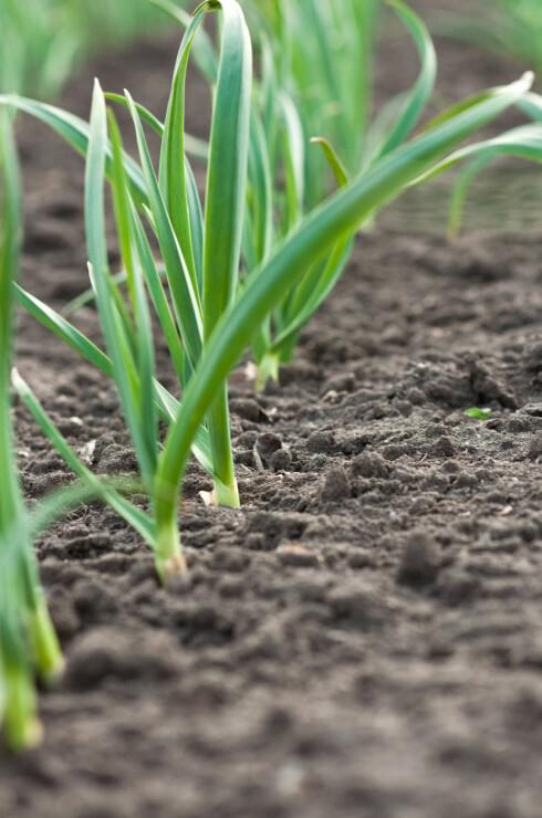 KREVER LITE: Hvitløk kan lett dyrkes både ute og inne. Foto: SHUTTERSTOCK