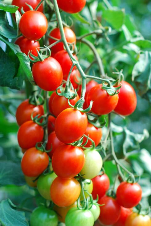 HØSTEKLAR: En klase modne tomater klar til å spises. Foto: SHUTTERSTOCK