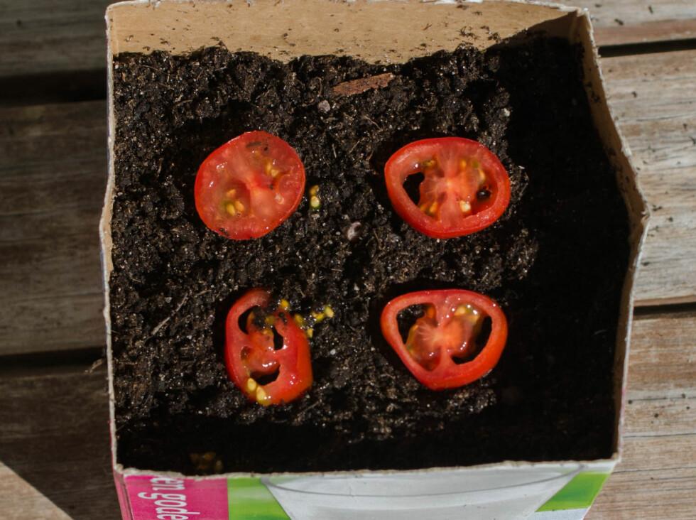 2: Legg tomatskivene pent dandert oppå jorden. Pass på at ikke alle frøene ble igjen på skjærebrettet.  Foto: AKSEL RYNNING