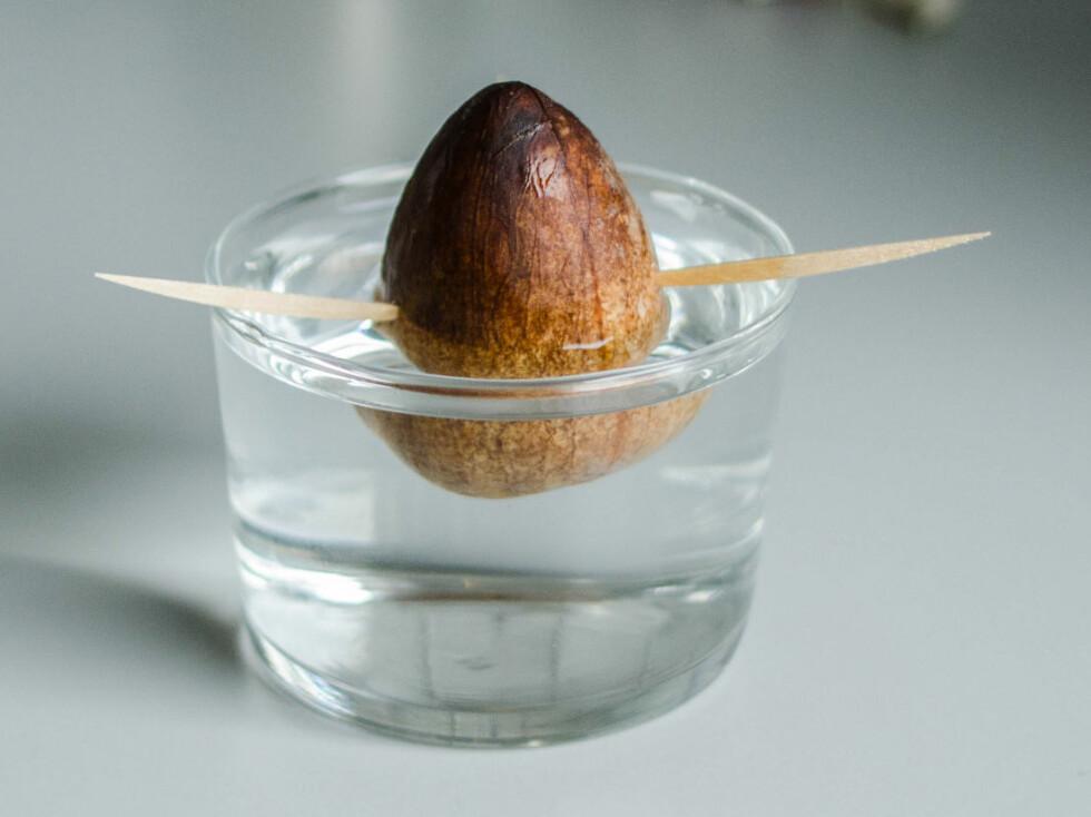 5: Plasser steinen i et glass, slik at rundt 35-50 prosent er dekket av vann. Hver tredje dag bør du skifte vannet og skylle steinen. Topp ellers opp glasset etter behov. Foto: AKSEL RYNNING