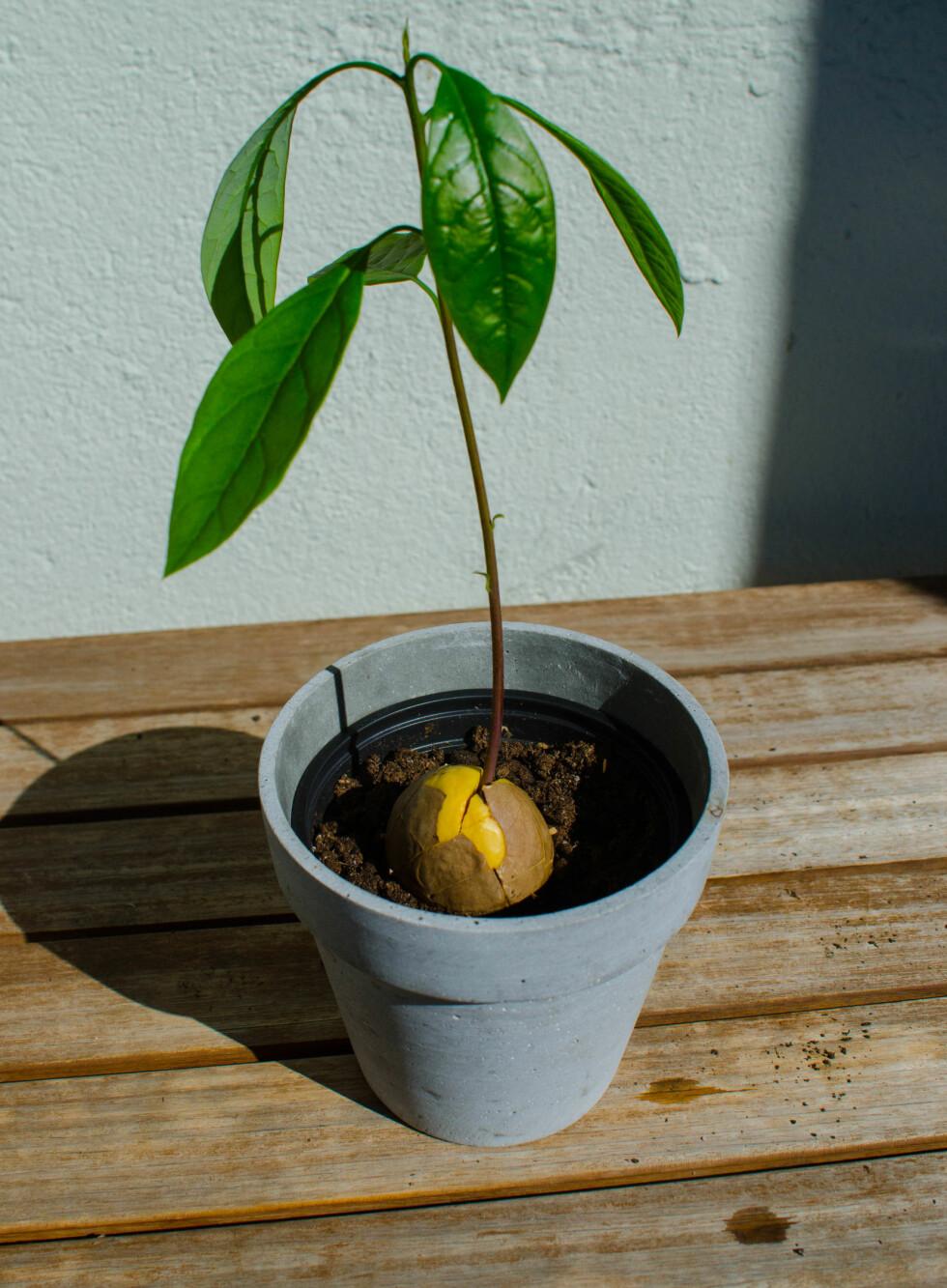 7: Når stilken er rundt 10 cm lang kan du plante den i en potte med jord. Foto: AKSEL RYNNING