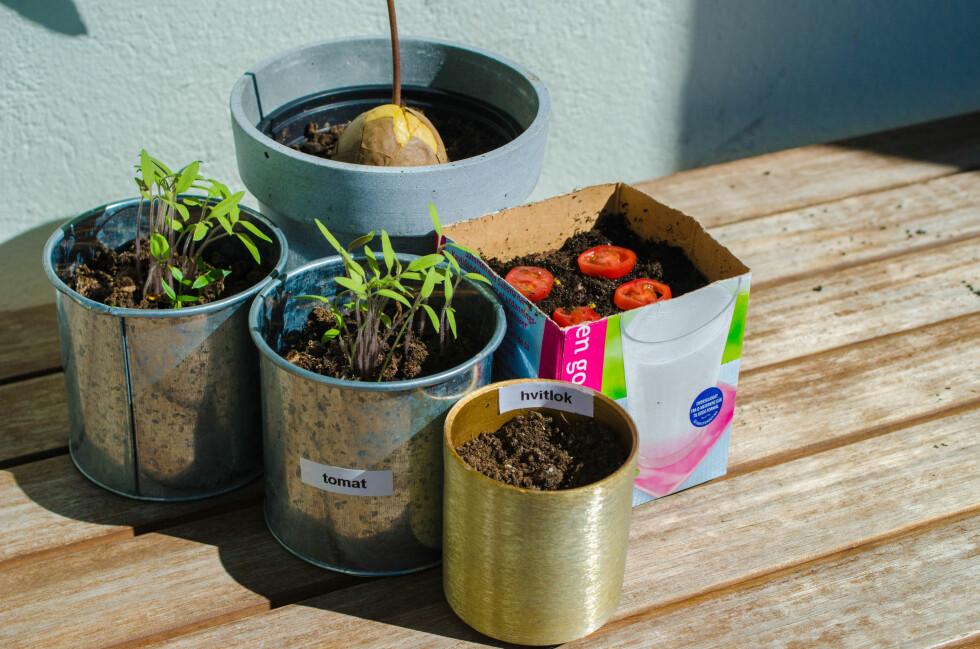 FORT OG GÆLI: Du trenger ikke å være ekspert for å få det til å gro. Prøv deg for eksempel på avokado-, hvitløk- og tomatdyrking Foto: AKSEL RYNNING