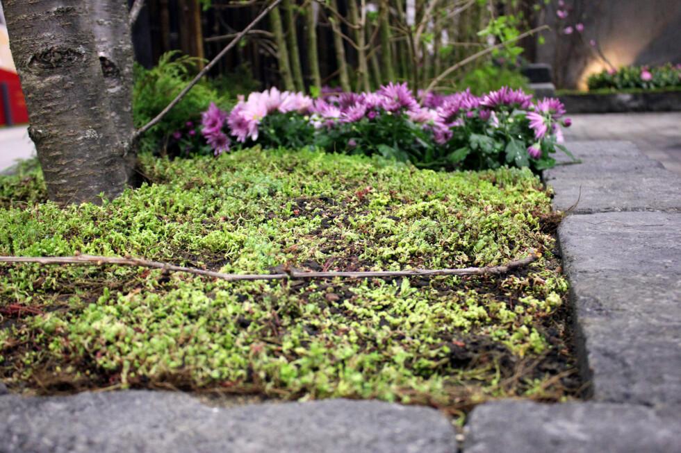 MOSE SOM BUNNDEKKE: Mosen holder godt på fuktighet, og kan brukes som dekke under busker, trær og i blomsterpotter. Foto: KRISTIN SØRDAL