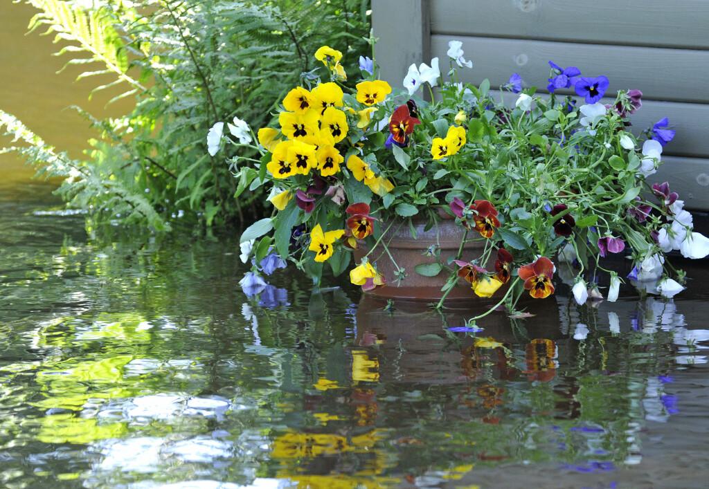 PLANT NÅ: Stemor kan du plante nå, de tåler litt frost. Foto: COLOURBOX.COM