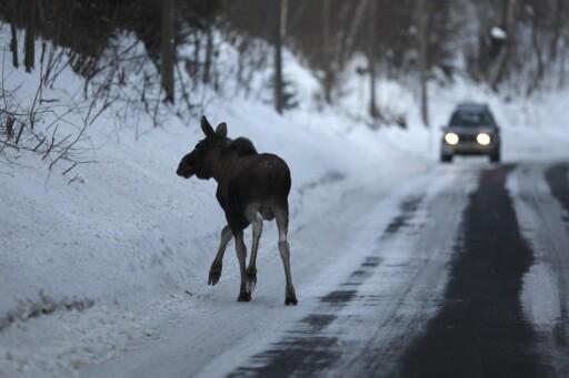 ELGEN SIN SKYLD: Hadde elgen bare fortsatt ut av veien, og ikke snudd i grøfta hadde ulykken aldri skjedd. Elgen sin skyld.  Foto: NTB SCANPIX