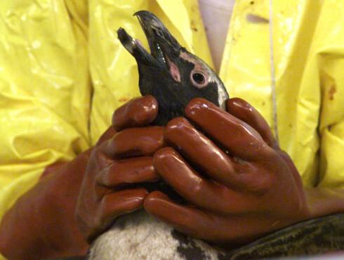 <strong><b>OLJESØL:</strong></b> Oppvaskmiddel har blitt brukt til å fjerne råolje fra fugler under flere utslipp. Foto: NTB SCANPIX