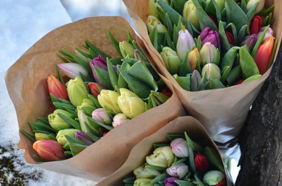 TÅLER MYE: Tulipaner tåler mye, både kulde og tørke - og kan med fordel oppbevares i kjøleskap eller i en kald kjeller til de skal vises frem. Foto: TONJE BERGH/PLANTMANIA