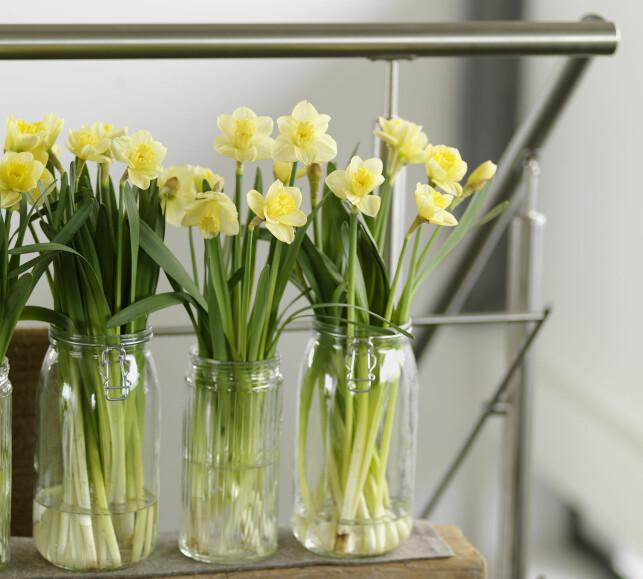 LØKBLOMSTER: Løkblomster, som påskeliljer i potte, kan tåle å bli stående igjen på hytta fra vinterferien til påske. Det kan ikke de avskårne eksemplarene, men de tåler både frakt og kaldere oppbevaring godt - husk bare at de ikke bør stå i samme vann som andre blomster de første dagene; de utskiller et stoff som tetter stilken til andre blomster. Foto: OPPLYSNINGSKONTORET FOR BLOMSTER OG PLANTER