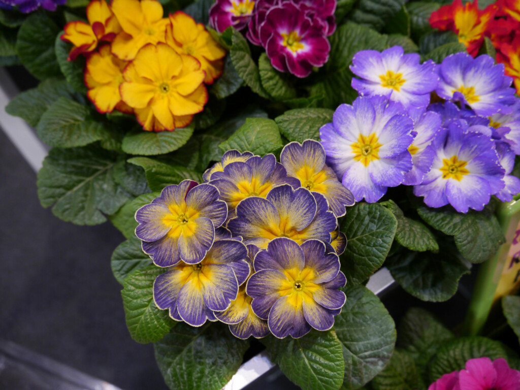 PRIMULA KAN GREIE DET: Primula kan tåle kaldere temperaturer og minimalt med stell. Foto: OPPLYSNINGSKONTORET FOR BLOMSTER OG PLANTER