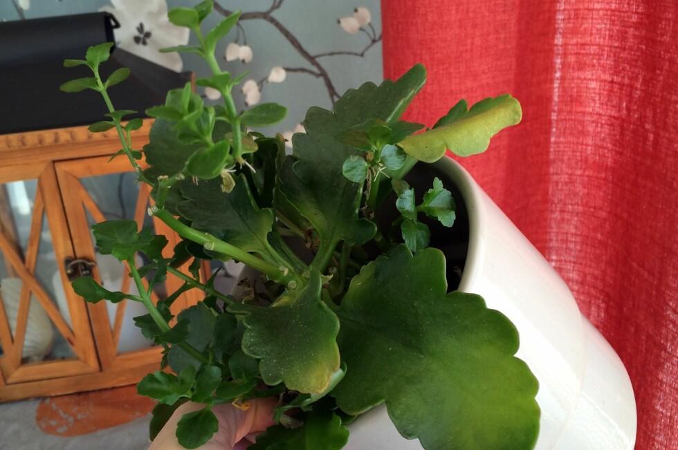 DE BESTE BLOMSTENE TIL HYTTA: Ildtopp er en av potteplantene som kan overleve alene på hytta fra vinterferien til påske - om du uansett har grunnvarme på. Foto: KRISTIN SØRDAL
