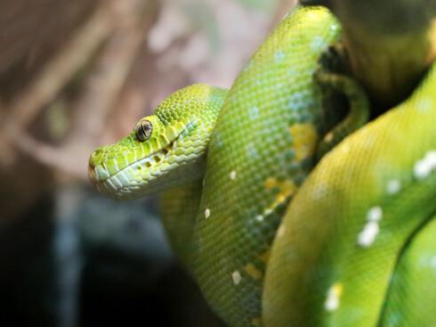 ELLER KANSKJE...: En grønn trepyton. Foto: Shutterstock / kostin77
