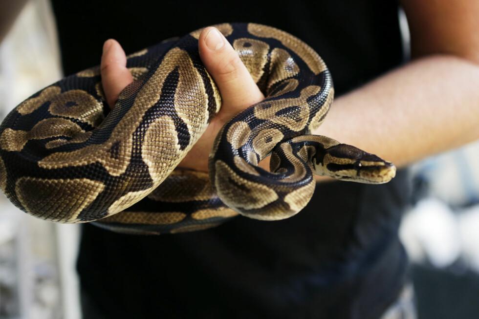 NYTT KJÆLEDYR? 18 eksotiske dyrearter kan bli tillatt, dersom forskriften som nå er sendt på høring, blir vedtatt, deriblant kongepytonslangen. Foto: NTB SCANPIX