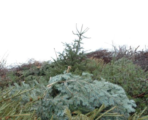 GRATIS: I Bergen må de fleste levere trærne sine selv. Til gjengjeld koster det ikke noe. Foto: BIR