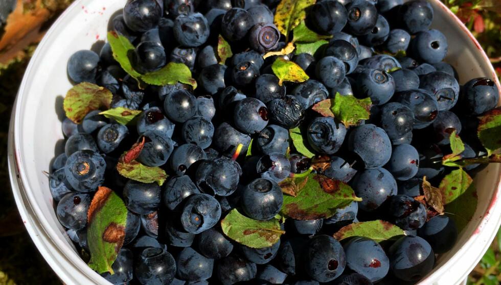 IKKE BARE BLÅBÆR: Blåbær rett fra tua har fått et ufortjent dårlig rykte i sommer. Eksperter Dinside har snakket med sier det er helt greit å spise bær fra tua i skogen, og du trenger heller ikke vaske dem først - om du bare ikke plukker i nærheten av avføring eller kadaver. Men se opp også ved plukking av andre bær og sopp - det er nemlig ikke slik at harepesten kun går på blåbærene! FOTO: KRISTIN SØRDAL/DINSIDE