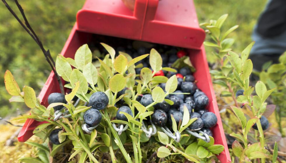 INGEN FARE: Du kan trygt plukke og spise bær i skogen, det er faktisk tryggere å spise dem enn å spise noe du har kjøpt - for da vet du hvordan de er plukket og behandlet. Foto: Gorm Kallestad / NTB scanpix