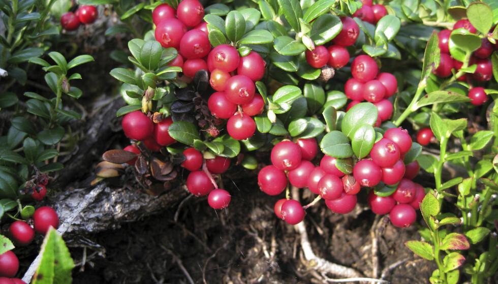 HAREPESTEN KAN SITTE PÅ ALL SLAGS BÆR OG SOPP: Det er ikke kun blåbær som kan være bærer av harepest, den kan finnes på all slags bær og sopp. Foto: Gorm Kallestad / SCANPIX