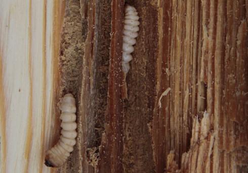 LARVER: Disse merker du ikke før de blir voksne biller og begynner å bore hull. Forhåpentligvis oppdager du det i god tid før huset ramler ned rundt deg. Foto: TESARIK KROVOVY/CC