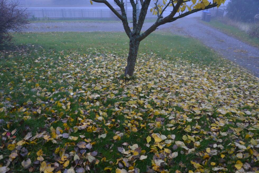 LØVET HAR FALT: Slik så det ut, det er litt blader igjen på trærne, men vi satser på at det blåser bort. Foto: BRYNJULF BLIX