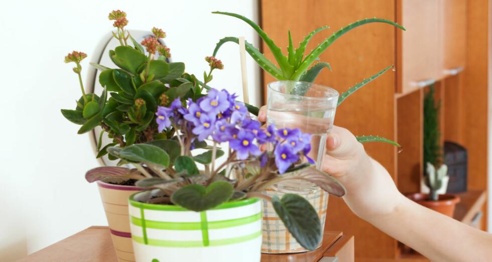 IKKE VANN FOR MYE: I 90 prosent av tilfellene hvor inneplanter takker for seg, er det fordi vi har vannet for mye. Foto: JACKF/FOTOLIA/NTB SCANPIX