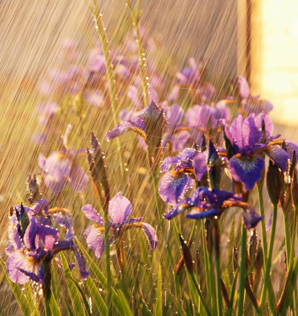 GI DEM EN DUSJ! Plantene blir også støvete: Gi dem en dusj! oppfordrer gartner Hilde Poppe. Foto: ANASTACIA GUDZ/FOTOLIA/NTB SCANPIX