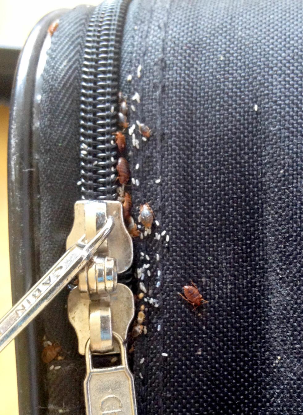 BLINDPASSASJERER? Sjekk bagasjen, dette er ikke harmløse små insekter - det er veggedyr. Foto: DOGPOINT