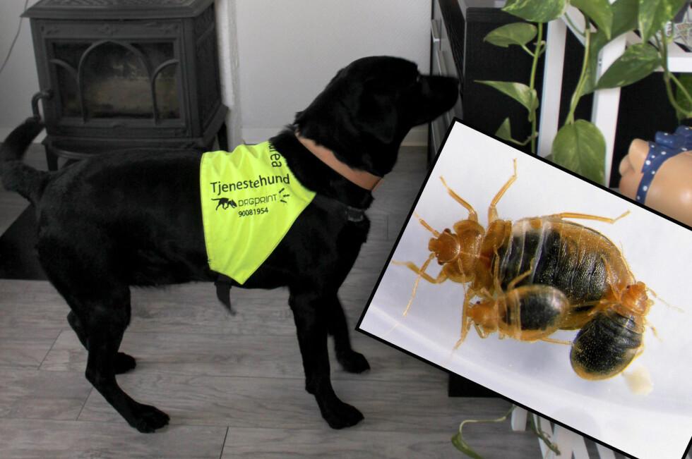 KAN REDDE DEG FRA EN STØRRE SANERING: Finner hundene spor etter veggedyr på et tidlig tidspunkt, kan det redde beboeren for en større sanering. Hundene kan brukes både til å finne hvor veggedyrproblemet er, og til etterkontroll etter sanering. Foto: KRISTIN SØRDAL/ANTICIMEX