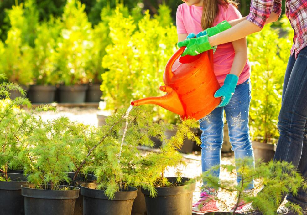 VANN: Vann rikelig, også når du planter på høsten. Sett gjerne planten i bløt en tid, kanskje 10 minutter, før du planter den ned. Foto: NTB SCANPIX