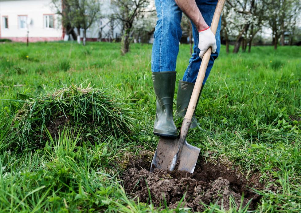 GRAV STORT: Gi planten et stort nok hull, og fyll det med løs jord. Foto: NTB SCANPIX