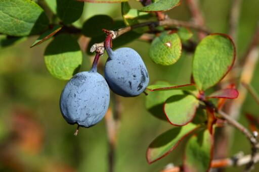 FLEKKFJERNER:  Blokkebær skal visstnok fjerne blåbærflekker fra huden. Foto: NTB SCANPIX