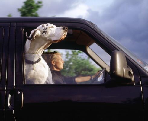 IKKE SLIK: Husk at dyr må sikres forsvarlig under bilturen. Alvorlige ulykker har skjedd på grunn av usikrede kjæledyr i bil. Foto: NTB SCANPIX