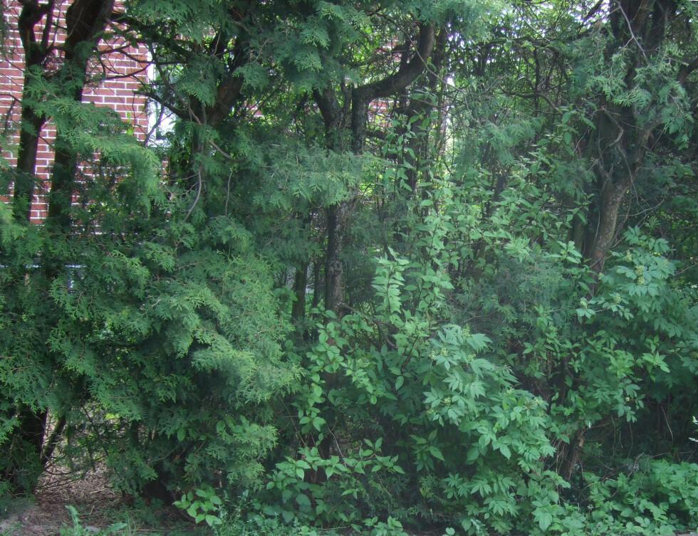 HÅPLØST: Det som en gang var en hekk har blitt til stammer med greiner her og der... Foto: BRYNJULF BLIX