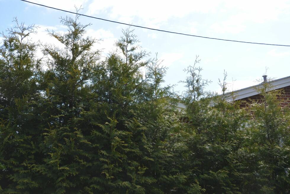 HØY NOK?  Hekken må klippes ofte hvis du skal ha kontroll over vekst og fasong. Foto: BRYNJULF BLIX