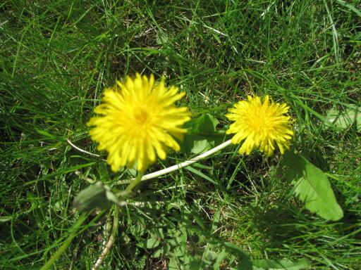 UGRESS: Løvetann og annet ugress sprer seg som - nettopp ugress. Eddik er et nyttig våpen mot disse uønskede plantene. Foto: KRISTIN SØRDAL