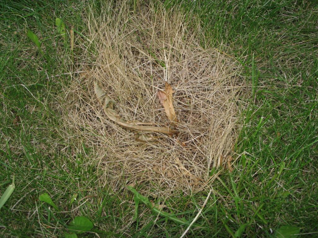 STYR UNNA PLENEN: Eddikvannet er ikke selektivt, og tar rett og slett livet også av gresset rundt ugressplanten. Foto: KRISTIN SØRDAL