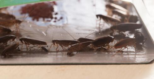 LIMFELLE: Du kan også sette opp feller for kakerlakkene, først små feller i papir for å se om det faktisk er kakerlakker hos ddeg, senere mer effektive varianter, som her.  Foto: ALL OVER PRESS