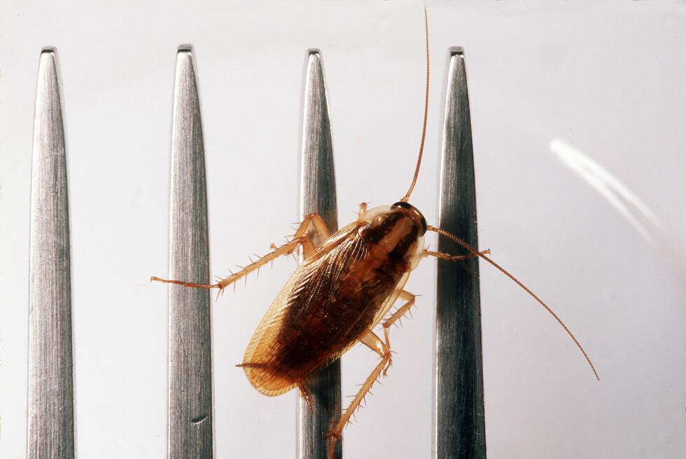 TYSK KAKERLAKK: Det finnes flere typer kakerlakker i Norge, men denne er mest vanlig. Foto: ALL OVER PRESS