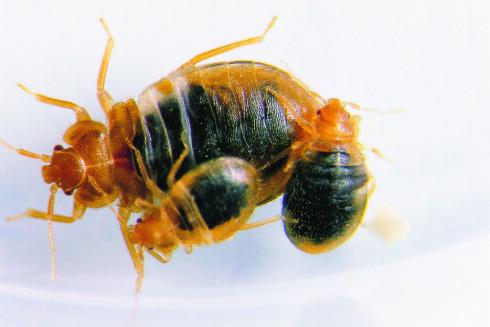 """NÆRBILDE: Det største insektet er et fullvoksent veggedyr, mens de to små er såkalte """"nymfer"""" som fortsatt vokser.  Foto: ANTICIMEX"""
