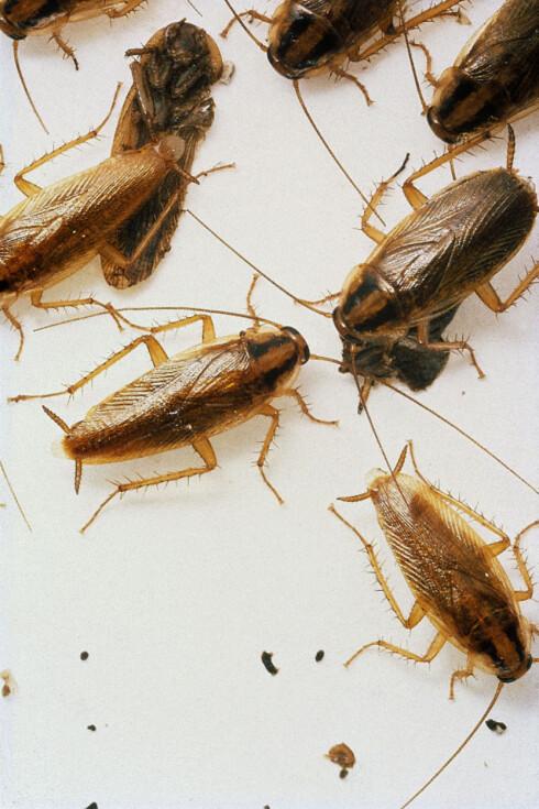 IKKE VEGGEDYR, men plagsom nok. Og det er fort gjort å forveksle den tyske kakerlakken med veggedyr. Foto: ANTICIMEX